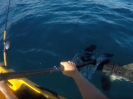 duel effrayant entre un kayakiste et un requin marteau